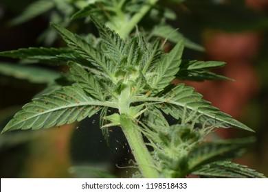 Spider mites on cannabis