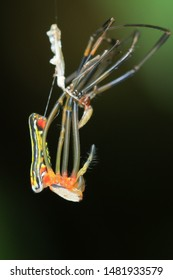 Spider molting(Arthropoda: Arachnida: Araneae: Nephilidae). On web in mdiair. In Taiwu,Pingtung,Taiwan.
