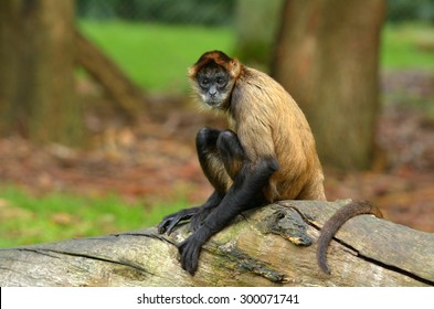 Spider Monkey (Ateles geoffroyi) sit on a tree trunk.Looks at the camera. copyspace