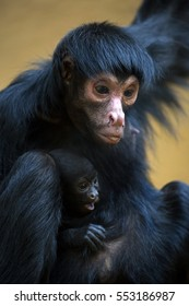 Spider monkey with baby