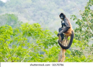 Spider monkey balanced on trunk in Mexican Jungle