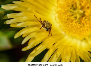 A Spider Monkey Beetle on a yellow sour fig flower in Southern Africa