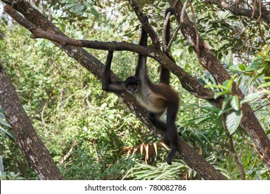 Spider monkey in Belize forest