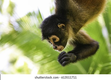A spider monkey climbs high trees of the rainforest in the Corcovado National Park  in Costa Rica