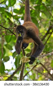 a spider monkey eating a banana in a tree at corcovado national park costa rica central america