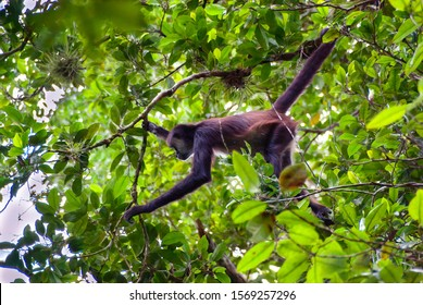 A spider monkey forages for food in the forest canopy of a central american jungle holding a branch with its tail it leans forward to reach a fruit
