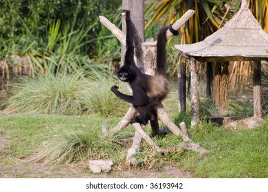 Spider monkey hanging from his arm and tail