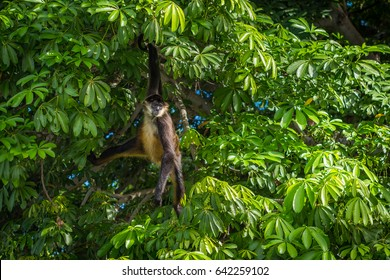 Spider monkey hanging in tree in Nicaragua on Monkey Island. Visit the beautiful places in the world, experience and learn what travel teaches.