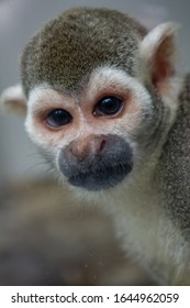 Spider monkey looks down the lens