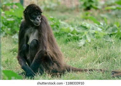 A spider monkey lounges in the grass