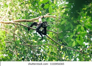A spider monkey moving through the trees in the mayan city Tikal in Guatemala