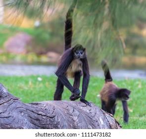 A spider monkey on a fallen tree trunk