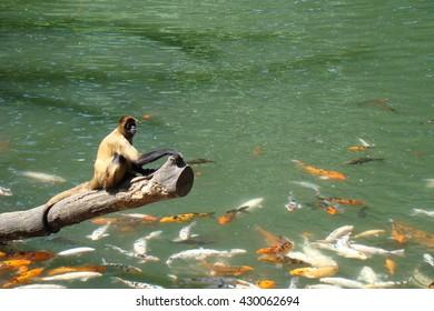 Spider Monkey on Koi Pond