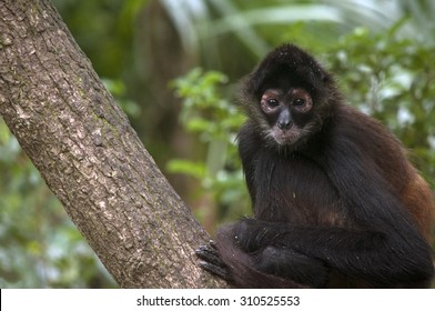 Spider monkey perched on a branch, Belize