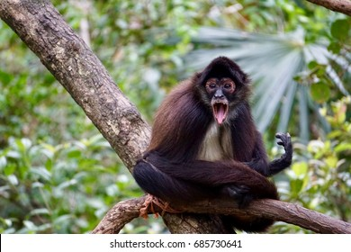 Spider monkey in rain forest with open mouth. Room for copy on left.