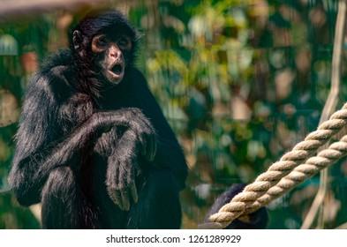 A spider monkey rests