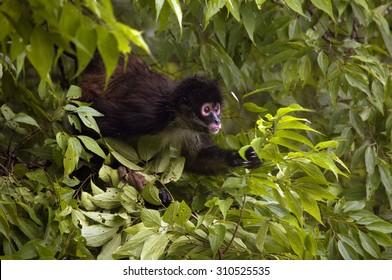 Spider monkey, Tikal, Guatemala