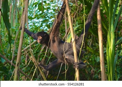 Spider monkey in the trees of the Amazon rainforest, Madre de Dios, Peru.