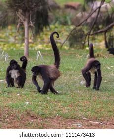 Spider monkeys on the ground