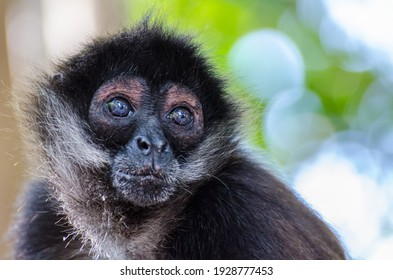 Spider monkeys and their babies are begging for food and playing in a mangrove forest