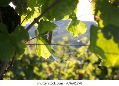 Spider net in vineyard
