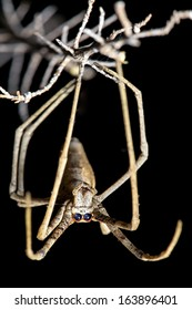 Spider, Net-casting, with focus on front facing eyes used for binocular vision