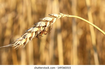 Spider on the ear of wheat
