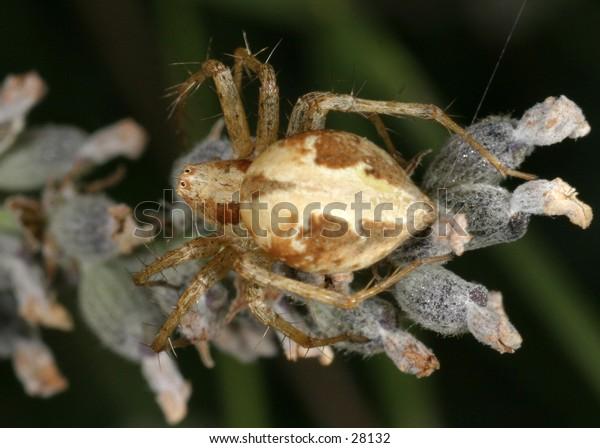 Spider on lavendar