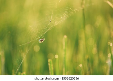 Spider on leaf of rice and green background.Rice paddy,Bokeh dew drops on the top of the rice fields in the morning sun,along with the rice fields that emphasize the soft background.