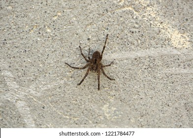 Spider on wall. Close-up on wolf spider outdoor.