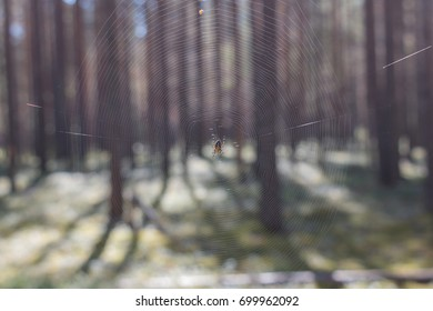 Spider on a spider web in a forest