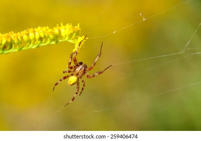spider on a spider web, and yellow-green background