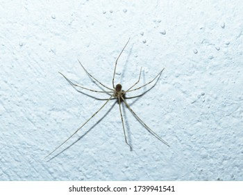 "Spider on a wite wall, Scytodes globula, the Chilean tiger spider, predatory spider of the family Scytodidae. In Spanish, known as araña tigre, or ""tiger spider"",also known as ""long-legged spider"""