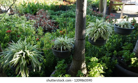 Spider plant is among the most popular and easiest to grow of all hanging or trailing houseplants