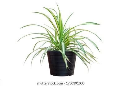 Spider Plant or Chlorophytum bichetii (Karrer) Backer in black plastic pot isolated on white background included clipping path. - Shutterstock ID 1750391030