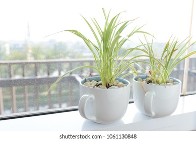 Spider Plant (Chlorophytum) in white ceramic flowerpot standing on windowsill - relax time