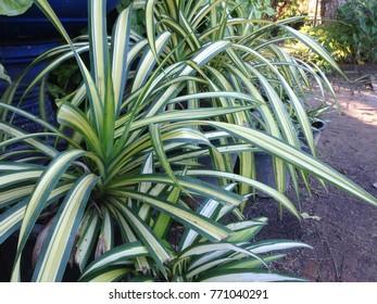 Spider  plant   on background