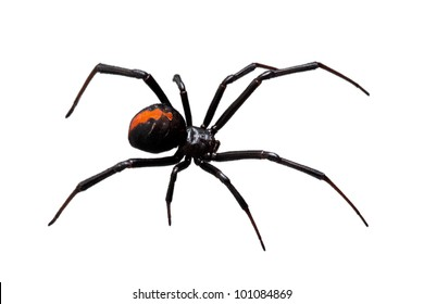 Spider, Redback or Black Widow, Latrodectus hasselti, isolated on white