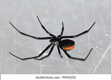 Spider, Redback or Black Widow, Latrodectus hasselti, female at rest on web