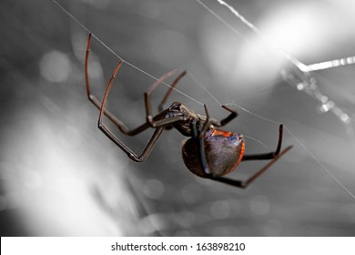 Spider, Redback or Black Widow at rest in chaotic web