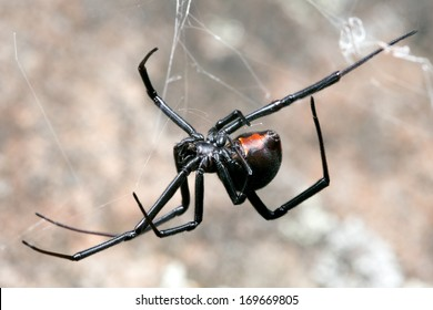 Spider, Redback or Black Widow, at rest on web in sandstone crevice