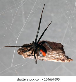 Spider, Red-back with moth suspended in its web