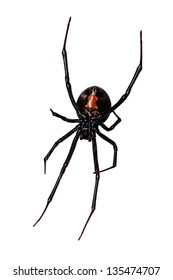 Spider, Red-back underside, characteristic red bottle shaped mark