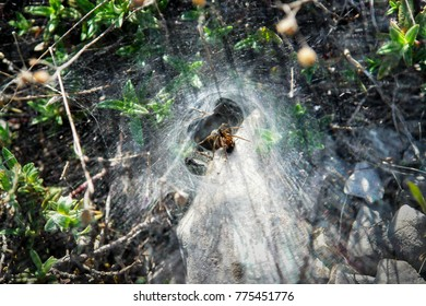 A spider is sitting in his web waiting for some pray. A small insect eating other insects. Spider web has tunnel shape.