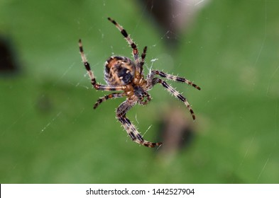 The spider species Araneus diadematus is commonly called the European garden spider, diadem spider, orangie, cross spider and crowned orb weaver , Greece