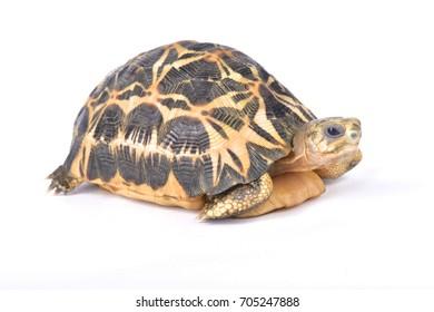Spider tortoise, Pyxis arachnoides arachnoides