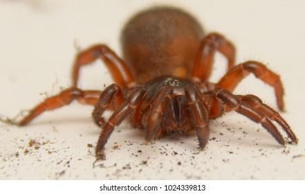 spider  Trapdoor spiders