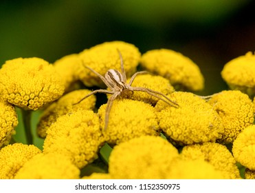 Spider waiting for prey on yellow flower.
