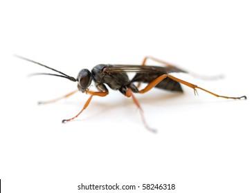 Spider Wasp (Auplopus mellipes).