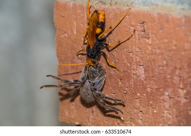 Spider Wasp has paralyzed a large Huntsman spider and is carrying the spider back to the nest